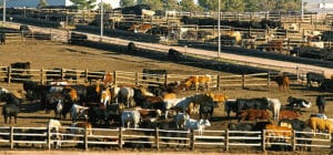 Grain Fed Beef in Feedlot