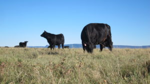Free Range Grass Fed Beef Grazing in Pasture